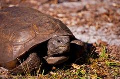 Sunning Tortoise Stock Image