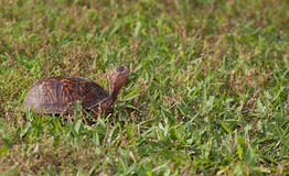 Sunning turtle Royalty Free Stock Photography