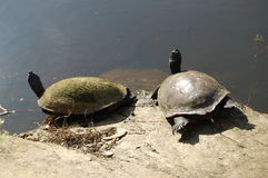 Sunning turtles on a rock. Near a pond stock photo