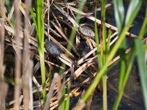 Sunning Turtles Stock Photos
