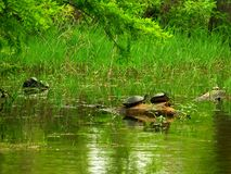 Sunning Turtles stock images