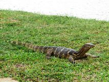 Sunning water monitor lizard - Lumphini Park Royalty Free Stock Photos