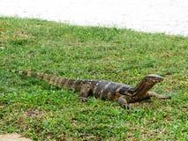 Sunning wodnego monitoru jaszczurki - Lumphini park Zdjęcia Royalty Free