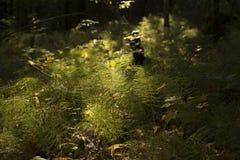 Sunnrise dans la forêt verte photographie stock