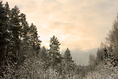 Sunnrise in winter forest royalty free stock photo