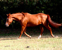 Sunny. Older Quarter Horse Mare at the jog Royalty Free Stock Images