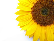 Sunny. Closeup of sunflower against white background royalty free stock image