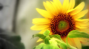 Sunny. Sun flower in black and white and colour Royalty Free Stock Image