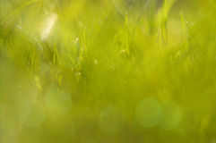 Sunny abstract green grass. Sunny abstract green nature background of vivid grass and light bokeh Royalty Free Stock Images