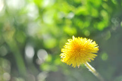 Sunny abstract green nature blurred background with dandelion, selective focus Stock Photography