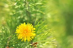 Sunny abstract green nature blurred background with pines and dandelion, selective focus Stock Images