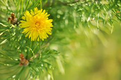 Sunny abstract green nature blurred background with pines and dandelion, selective focus Stock Photos