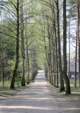 The sunny alley with high trees in the spring time Royalty Free Stock Images
