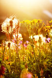 Sunny alpine meadow Stock Photography
