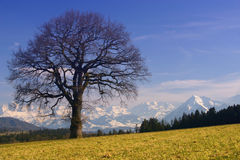 Sunny Alps. A late-day view of the Swiss Alps with a leafless winter tree royalty free stock image
