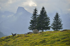 Sunny Alps and trees. A late-day view of the Swiss Alps with a green pines Royalty Free Stock Photo