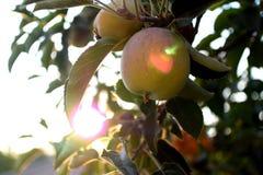 Sunny Apple Photos stock