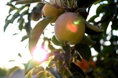 Sunny Apple. Apple basking under the afternoon sun in an orchard Stock Photos