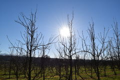 Sunny apple plantation 2. Sunny apple plantation in winter Stock Photo