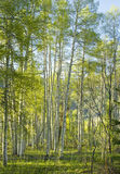 Sunny Aspen Forest Royalty Free Stock Photos
