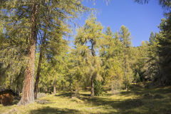Sunny Austrian Evergreen Forest with Clearing. Scenic Landscape of Sunny Evergreen Forest with Grassy Clearing in Foreground and Clear Blue Sky Overhead, Tirol Royalty Free Stock Image