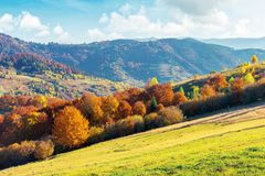 Sunny autumn afternoon mountain scenery. Trees in fall foliage on the hillside. green grassy meadow. ridge in the distance. bright weather with clouds on the stock image