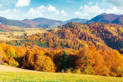 Sunny autumn afternoon mountain scenery. Trees in fall foliage on the hillside. green grassy meadow. ridge in the distance. bright weather with clouds on the royalty free stock image