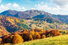 Sunny autumn afternoon mountain scenery. Trees in fall foliage on the hillside. green grassy meadow. ridge in the distance. bright weather with clouds on the royalty free stock photos