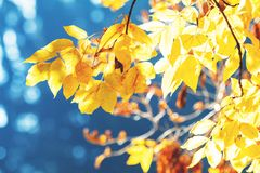 Free Sunny Autumn Background With Yellow Fall Leaves Against Blue Sky Stock Photo - 129951390