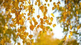 Sunny autumn birch leaves. Over blue sky stock footage