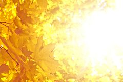 Sunny autumn day. Orange maple leaves and bright autumn sun Royalty Free Stock Photography