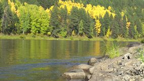 Sunny autumn day. In foreground rocky shore of river. Calm flow of river against backdrop of golden autumn forest stock video