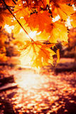 Sunny autumn day in park. Branch with gold leaves in back light. Fall outdoor nature Stock Images