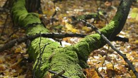 Sunny autumn esday in forest. Old tree with moss lying on the ground. Sunny autumn esday in forest. Old tree with moss lying on the ground among yellow leaves stock video