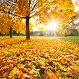 Sunny autumn foliage. Colorful foliage in the autumn park Royalty Free Stock Image