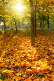 Sunny autumn foliage. Colorful foliage in the autumn park Royalty Free Stock Photos