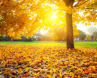 Sunny autumn foliage Stock Photos