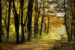 Sunny Autumn Forest Royalty Free Stock Photos