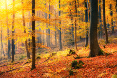 Sunny autumn forest Royalty Free Stock Photography