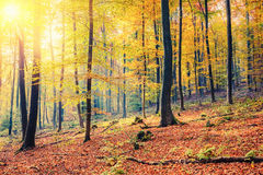 Sunny autumn forest. Colorful and foggy autumn forest Stock Photos