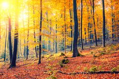 Sunny autumn forest. Colorful and foggy autumn forest Stock Image