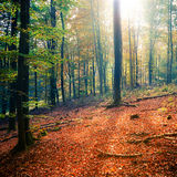 Sunny autumn forest Royalty Free Stock Photo