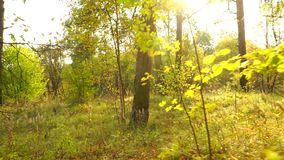 Sunny autumn forest and fallen leaves, back view, smooth steadicam shot stock video footage