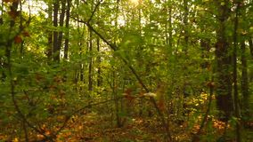 Sunny autumn forest and fallen leaves, smooth steadicam shot stock footage