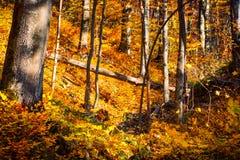 Sunny autumn forest stock photography