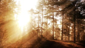 Sunny autumn forest loop stock footage