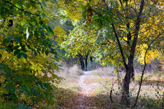 Sunny Autumn Forest. Autumn forest path between maple, oak and poplar trees in a sunny day Royalty Free Stock Images