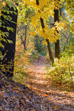 Sunny Autumn Forest. Autumn forest path between maple and poplar trees in a sunny day Royalty Free Stock Image