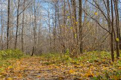 Sunny autumn forest. With a path and fallen leaves Stock Image