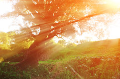 Sunny autumn landscape in the autumn forest with evening sunlight breaking through the branches of old curved tree Royalty Free Stock Photos